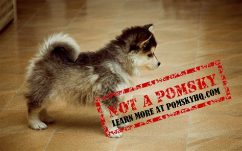 does a pomsky shed a lot this is not a pomsky spread the word pomskyhq