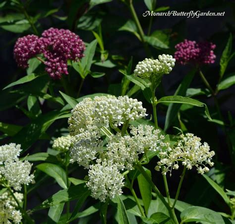 1000 images about milkweed for butterfly gardens on