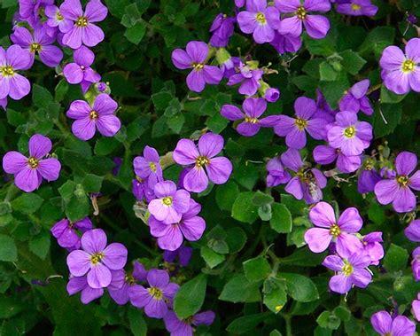 Plants Online Nursery by Gardensonline Aubrieta Deltoidea