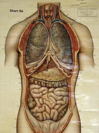 Want to learn more about it? Antique Human Torso Anatomy Chart   Skinner and Hyde