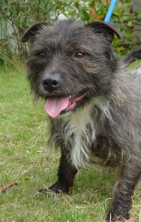 Chucky Cairn Terrier Cross Needs New Home Loughborough Leicestershire Petshomes
