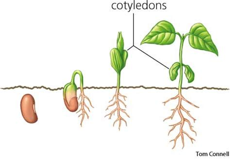what is a cotyledon what is the difference between monocotyledon and dicotyledon socratic