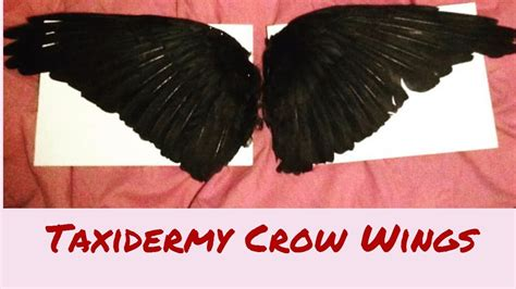 Taxidermy Crow Wings