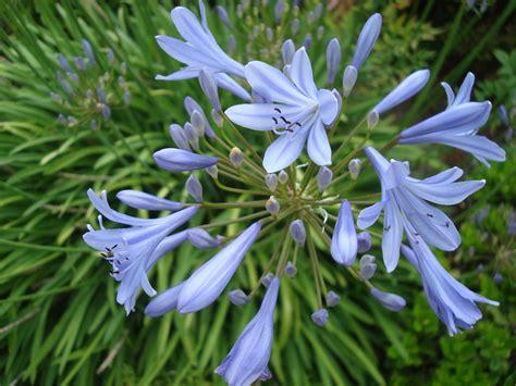 plant agapanthus agapanthus praecox