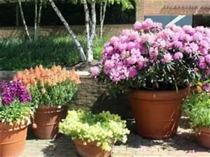 Comment Planter Un Camélia : comment planter rhododendron en pot ~ Melissatoandfro.com Idées de Décoration