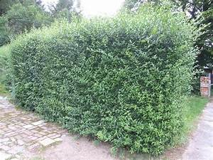 Hecke Garten Perfect Immergrne Hecke With Hecke Garten