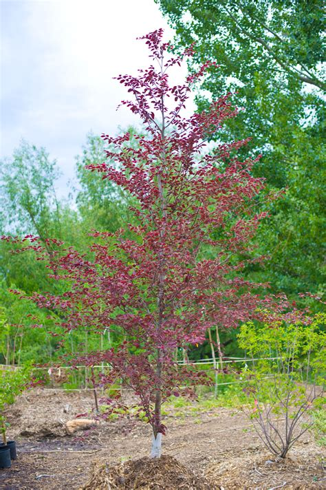 tricolor beech beech tricolor creekside tree nursery