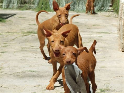 hound andalusian dogs podenco puppies pharaoh dog andaluz wallpapers breeds puppy animal doberman desicomments pets names