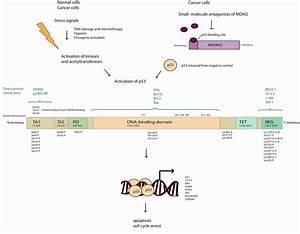Mechanisms Of P53 Activation In Acute Myeloid Leukemia  Aml   The Full