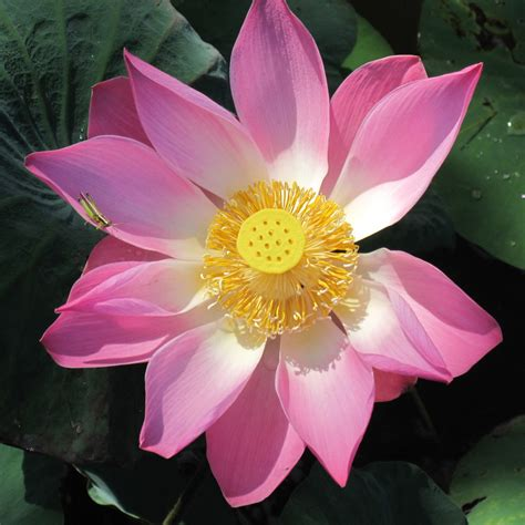 the lotus an exquisite flower and symbol of faith
