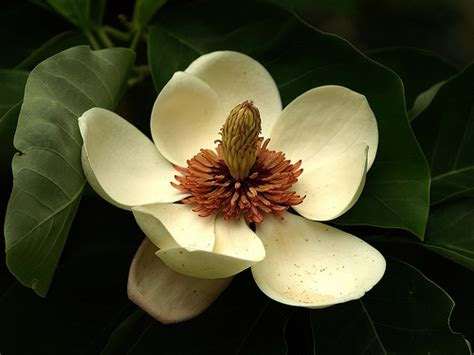 magnolia flower part  weneedfun