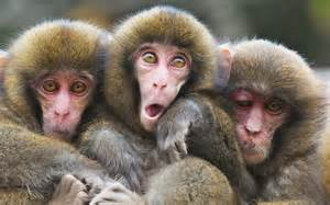 Japanese Macaques Monkeys Memes