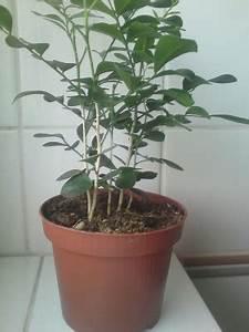 Ficus Bonsai Schneiden : gr npflanze und bonsai m glich ja murraya paniculata pflanzenbestimmung pflanzensuche ~ Indierocktalk.com Haus und Dekorationen