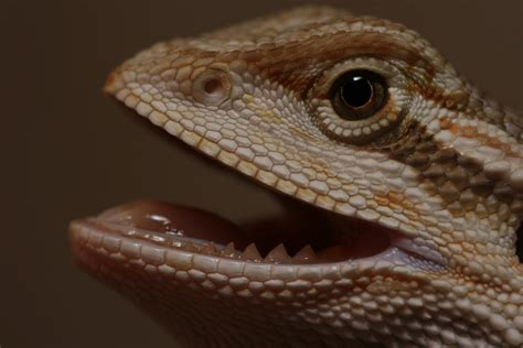 what kind of heat l for bearded dragon file bearded dragon showing his teeth jpg wikimedia commons