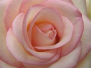 light pink rose pic.jpg (1 comment)