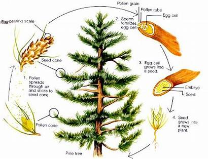 Longleaf Pine Reproduction Grade Land Curriculum Tree