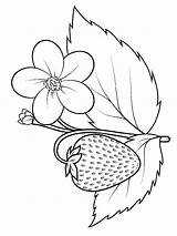 Strawberry Coloring Pages Berries Fruits Colors Recommended sketch template