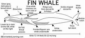 Fin Whale Print-out