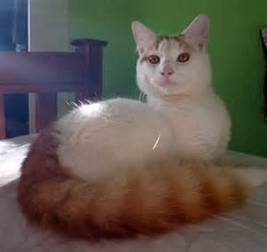 turkish cat turkish cat photos