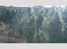 Marijuana field in Afghanistan YouTube