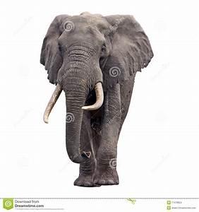 Elephant Walking Front View Stock Photo - Image of ivory ...