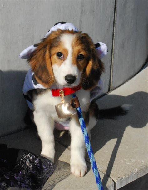 beagle mix dog collie puppies dogs adoption ky louisville puppy petfinder animal hound mixes golden ready retriever breeds pets shelter