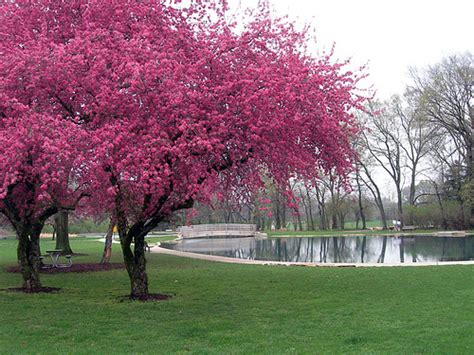 trees in bloom redbud trees in bloom flickr photo sharing