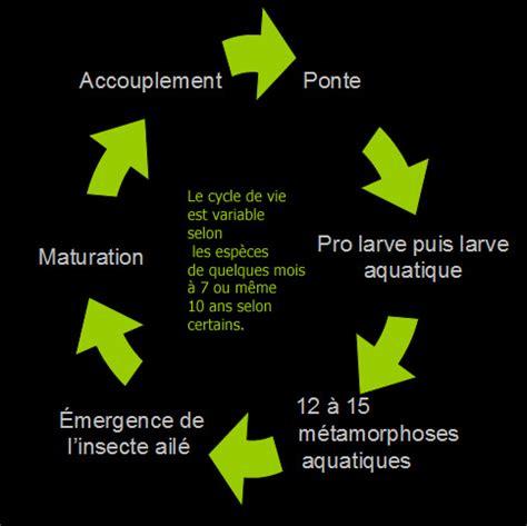 anatomie et cycle de vie des libellules