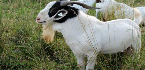 buy quality proven meat goat bucks   meat goat herd farm fit living