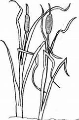 Coloring Cattail Pages Cattails Template Sketch sketch template