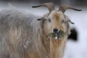 Kaschmir Wolle Tier : alpine cashmere association unsere vereinigung umfasst ~ A.2002-acura-tl-radio.info Haus und Dekorationen