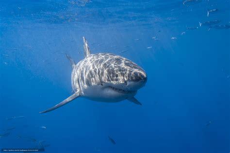 bureau but blanc tlcharger fond d 39 ecran requin blanc requin krasava
