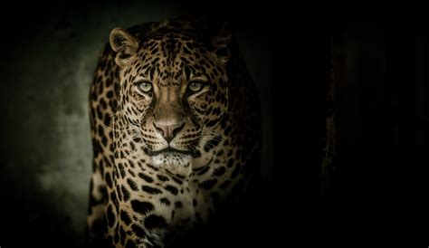 Leopard Animal Wallpaper - wallpaper leopard hd 4k animals 12310
