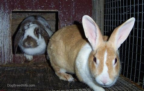 list  rabbit breeds