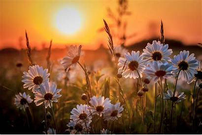 Flower Wallpapers Flowers Definition Backgrounds Daisy Sunset