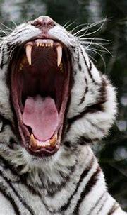 Beautiful White Tiger Wallpaper - WallpaperSafari