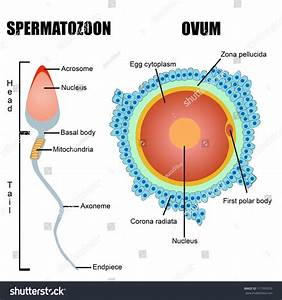 Structure Of Human Gametes   Egg And Sperm  Useful For