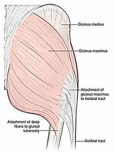 Easy Notes On  U3010muscles Of The Gluteal Region U3011learn In Just 6 Minutes   U2013 Earth U0026 39 S Lab