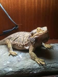 NE England for sale 3 male 1 female bearded dragons ...