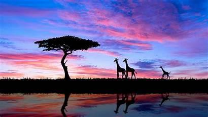 Sunset Giraffe Africa 4k Wallpapers Tree African