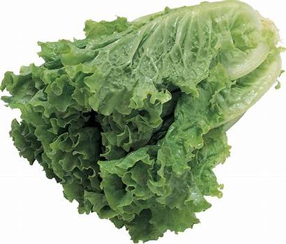 Salad Lettuce Transparent Purepng Spinach Vegetables Pngs