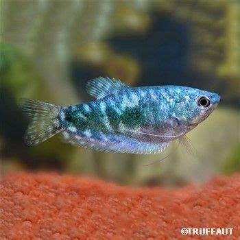 les 25 meilleures id 233 es de la cat 233 gorie poisson d eau