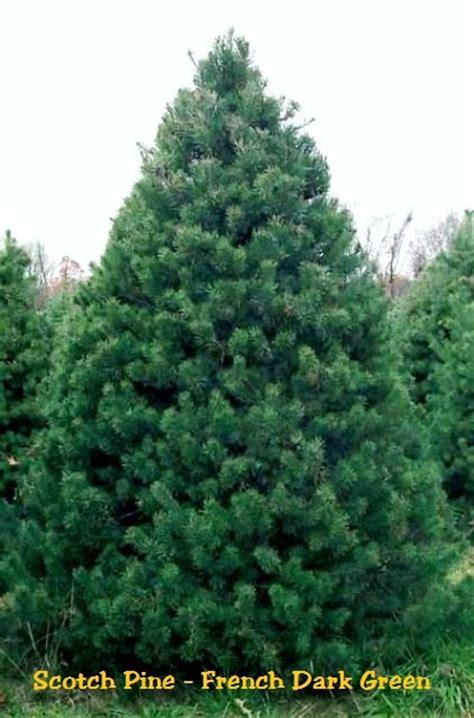 scotch pine pinus french dark green