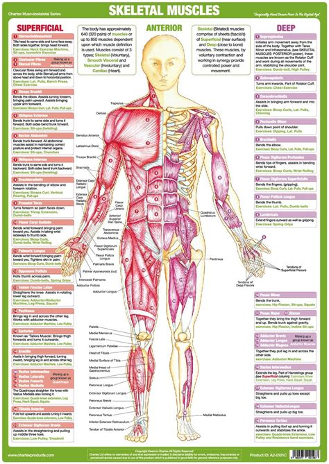 Each side is painstakingly labeled, and the bottom half of the chart features enhanced. Muscle Anatomy Chart - Anterior - Chartex Ltd
