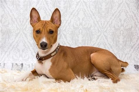1000+ Images About Basenjis On Pinterest
