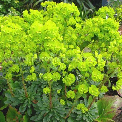 euphorbia perennial euphorbia amygdaloides var robbiae wood spurge this is a tough groundcover for dry shade