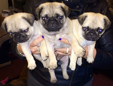 Silver& Fawn Pedigree Kc Reg Pug Puppies For Sale