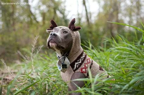 pitbull sweaters pit bull with sweater pit bulls other bully breeds