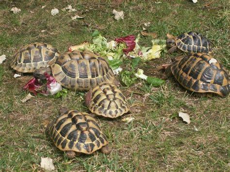 le pour tortue hermann enclos pour tortue hermann trouvez le meilleur prix sur voir avant d acheter