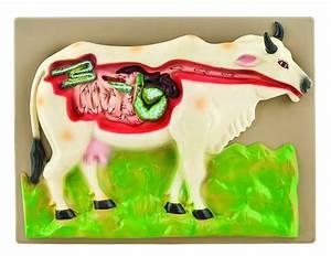 Model Cow Digestive System  U2014 Eisco Labs
